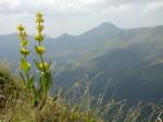 medium_fleur-montagne-gentiane-puy-cantal-167619.jpg