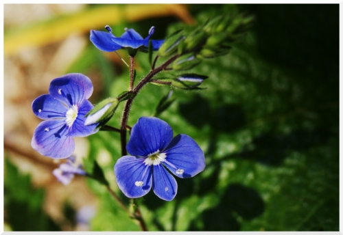 1031 fleur bleue.jpg