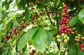 grains de café.jpg