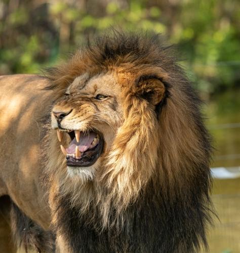 pexels-petr-ganaj-Lion.jpg