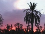 arbre-deserts-palmeraie-marakech-maroc-.jpg