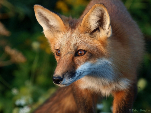 Renard-roux-Credit-Eric-Bégin-Creative-Commons.jpg