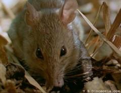 rat-d-1[1].jpg