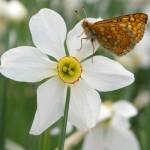 papillon-5.jpg