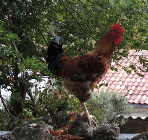 interprétation des rêves,christiane riedel spécialiste de l'interprétation des rêves,coq poule,renard