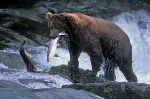 les-ours-préfèrent-les-truites.jpg