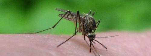moustique-mosquito.jpg