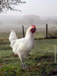 poulet-bresse-big.jpg
