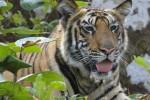 floflo_tigre14.jpg