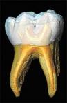 molaire de néandertalien.jpg