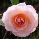 rosier 1.jpg